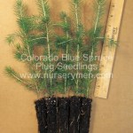 evergreen trees for sale - colorado blue spruce plug seedlings