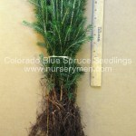 evergreen trees for sale - colorado blue spruce seedlings