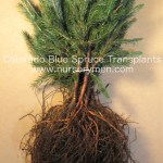 colorado blue spruce transplants for sale