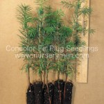 evergreen trees for sale - concolor fir plug seedlings