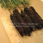 Concolor Fir plug seedlings