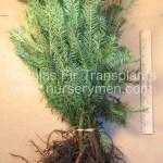douglas fir transplants