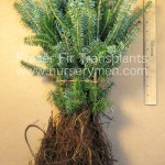 evergreen trees for sale - fraser fir transplants