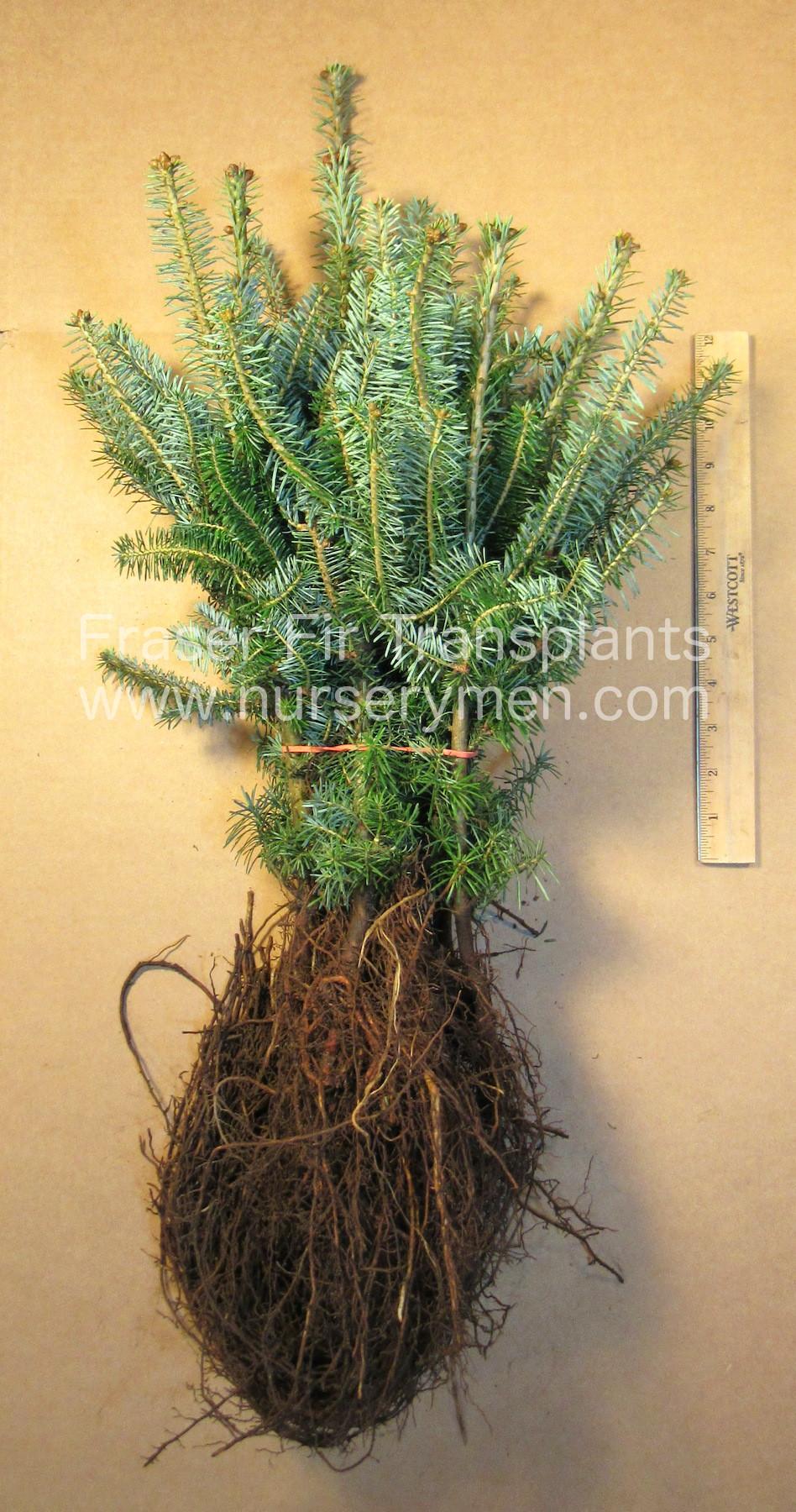 Fraser Fir Transplants Abies Fraseri Evergreen Trees For Sale