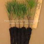 ponderosa pine plug seedlings for sale