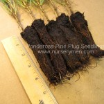 Ponderosa Pine plug seedlings for sale