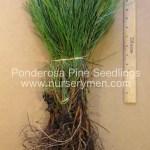ponderosa pine seedlings for sale