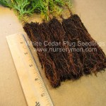 White Cedar plug seedlings for sale