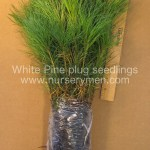 White Pine plug seedlings for sale