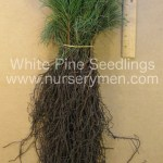 white pine seedlings for sale