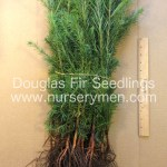 douglas fir seedlings for sale