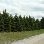 Colorado Blue Spruce as an evergreen windbreak