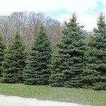 Colorado Blue Spruce evergreen windbreak