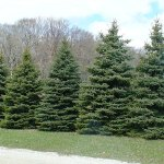 Colorado Blue Spruce evergreen windbreak
