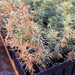 Winterburn of concolor fir seedlings