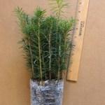 canaan fir plug seedlings, 25 pack shown