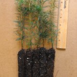 canaan fir plug seedlings for sale