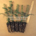 "Canaan Fir plug transplants for sale, approx 8-12"" tall"