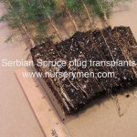 serbian spruce plug transplants