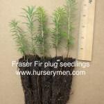 fraser fir plug seedlings