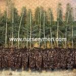 Colorado Blue Spruce plug transplants lineup