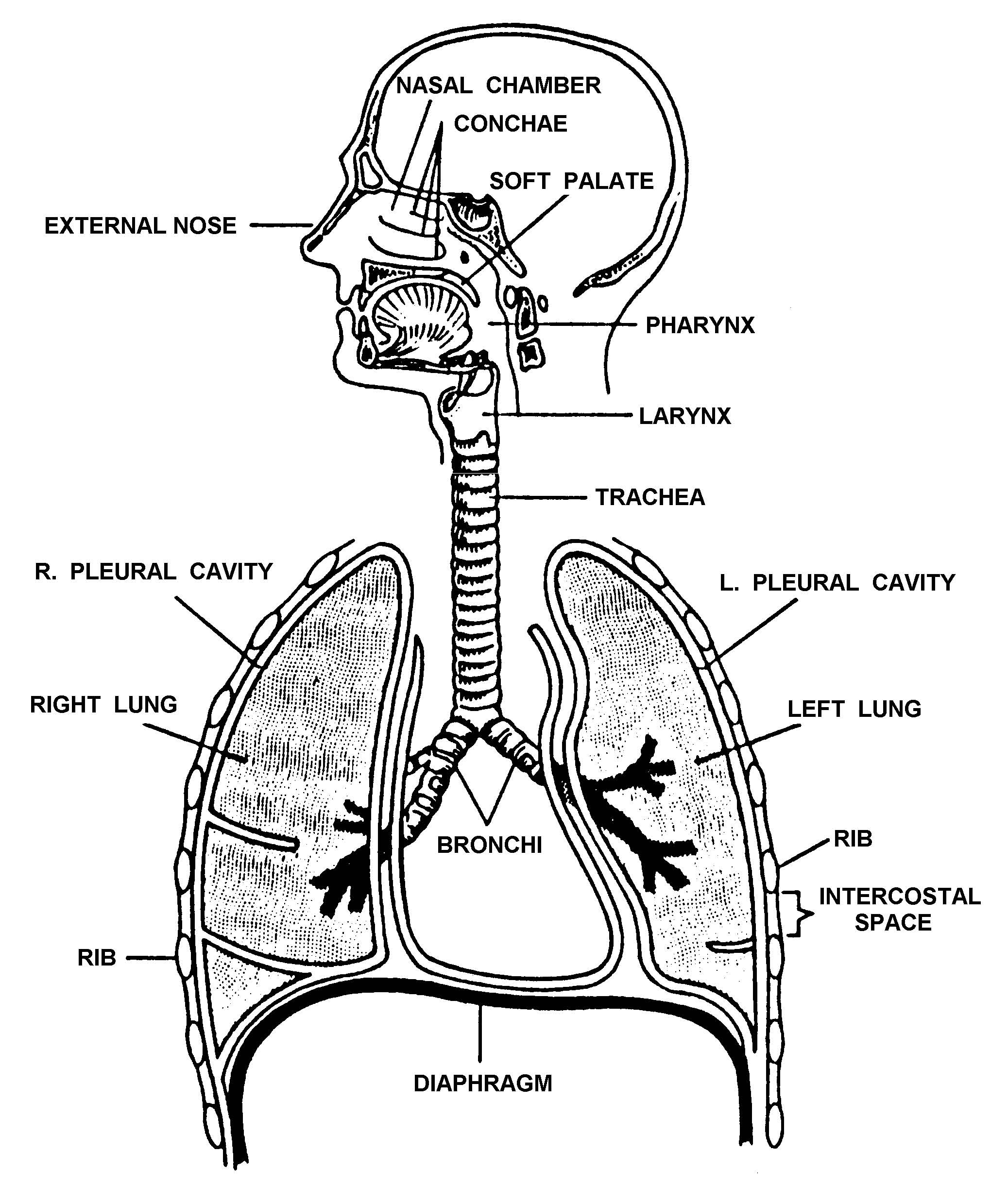 1 5 The Respiratory System