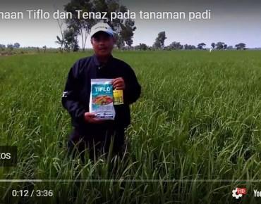 Testimoni Petani Pengguna Silika Tenaz dan Fungisida Tiflo