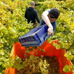 Grapes being collected