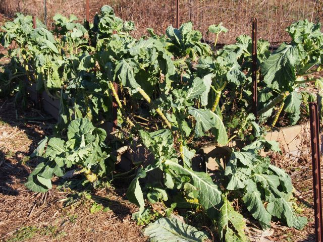 tasty collard for the picking