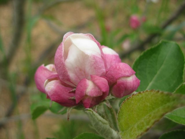 this apple blossom a couple of days after the freeze was unaffected