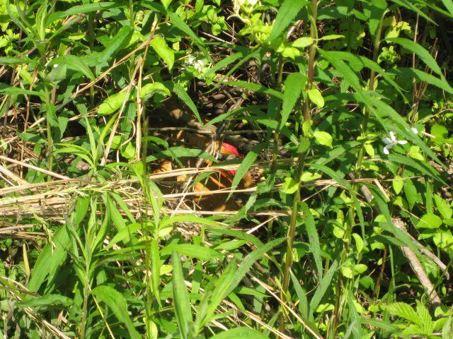 Randa on her nest in the bush