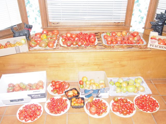 tomatoes in the kitchen to be pasted, gifted or eaten