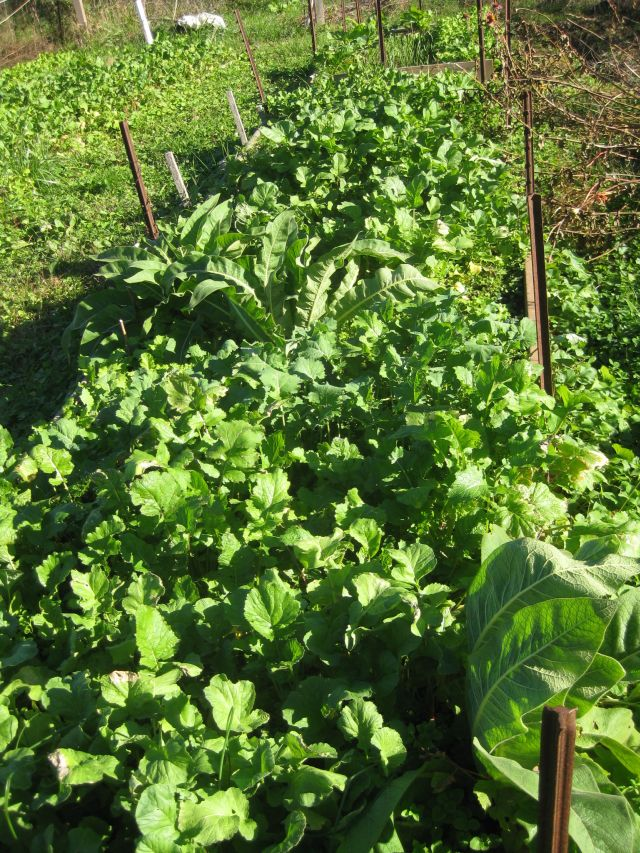 comfrey, radish and others