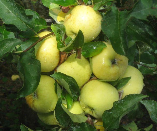 succulent, sweet early season Pristine apples