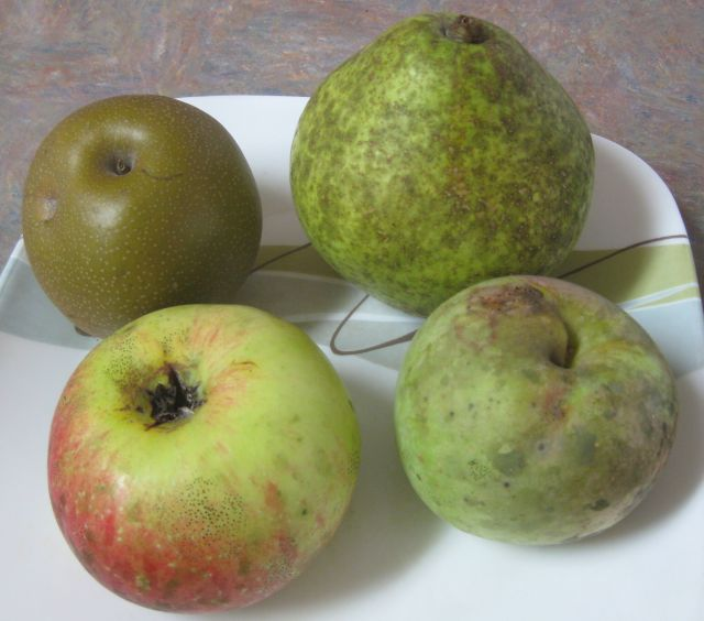 the Kieffer pear (top right) is v. large and sweet.  Top let a Giant Korean pear, bottom left a Paduckah apple and bottom right the Anna Apple from Israel with low chill hours requirement
