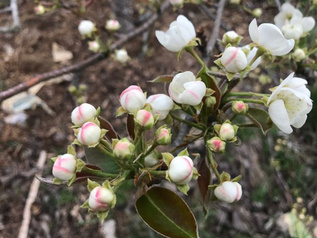 update – 1st blossoms, bees and goats