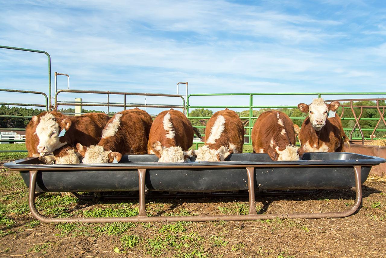 Freshly Weaned Calves