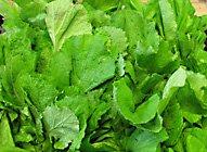 mustard greens (Brassica juncea)