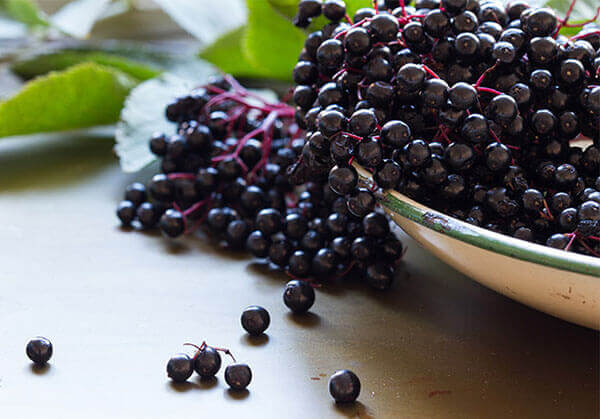 How does Elderberry Build a Healthy Immune System?