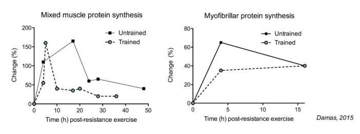 Muscle protein synthesis response over time modulated by training status