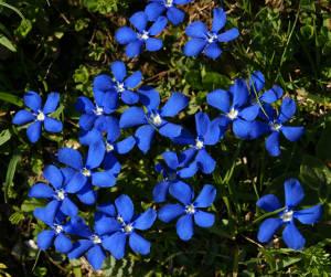 Risultati immagini per cerato fiore