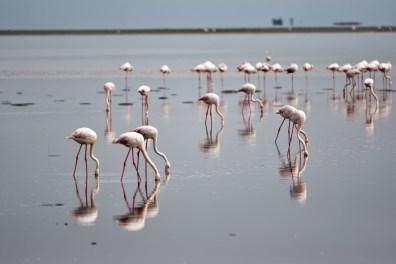 Flamant Rose Walvis Bay