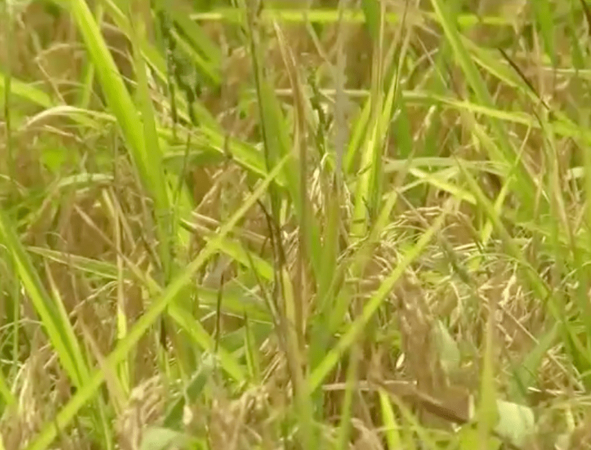 rice crops _1493960858412.png