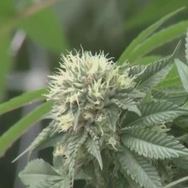 Medical Marijuana_1551827179608.JPG.jpg