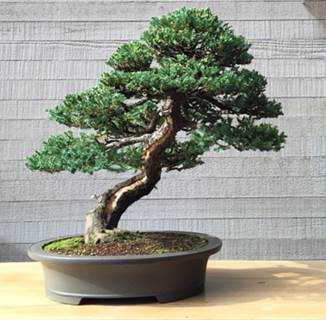 https://i2.wp.com/www.nwasianweekly.com/wp-content/uploads/2015/34_22/front_bonsai.jpg