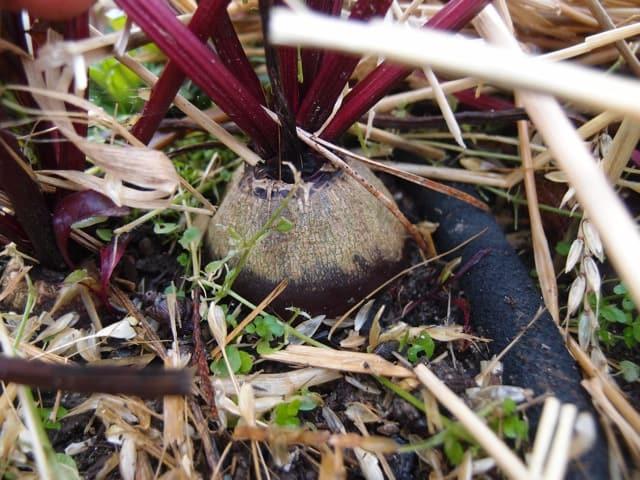 Beets Under Mulch