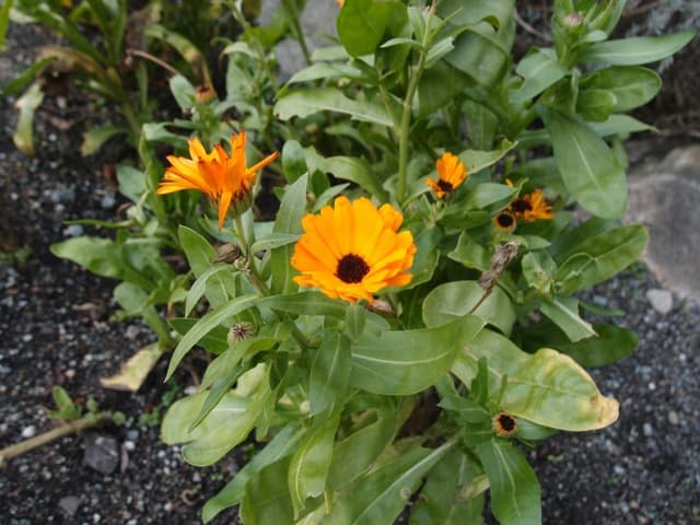 Calendula Still Blooming