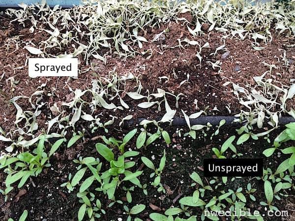 Vinagre blanco como herbicida orgánica