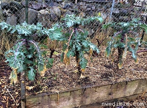Kale_in_winter