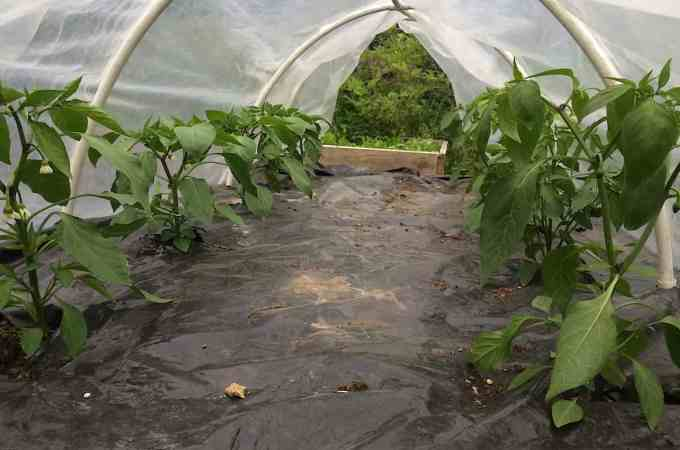 Peppers get the extra protection of a low tunnel.